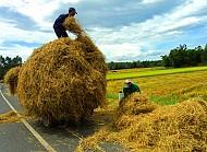 Ngây Ngất Vẻ Đẹp Nồng Nàn Phú Yên Mùa Gặt