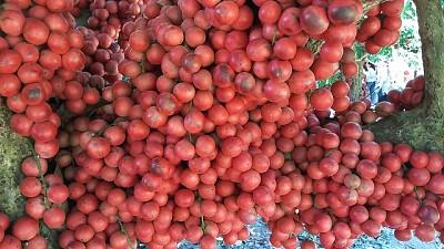 Bạn có biết cây đỏ chín ở trên Cao Nguyên Vân Hòa, Phú Yên là cây gì không