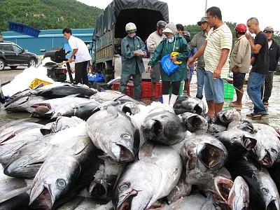 Phú Yên: Nhật Bản tiến hành thu mua, chế biến cá ngừ đại dương tại tỉnh