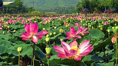 Trồng Sen phát triển du lịch, điểm mới lạ ở mảnh đất Phú Yên