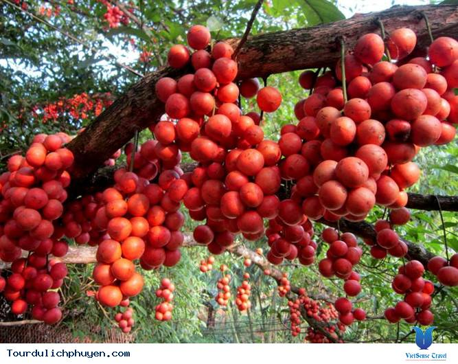Bạn có biết cây đỏ chín ở trên Cao Nguyên Vân Hòa, Phú Yên là cây gì không - Ảnh 1