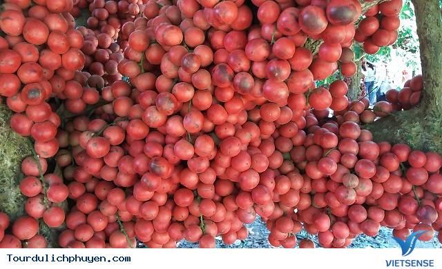 Cây đỏ chín ở trên Cao Nguyên Vân Hòa, Phú Yên là cây gì