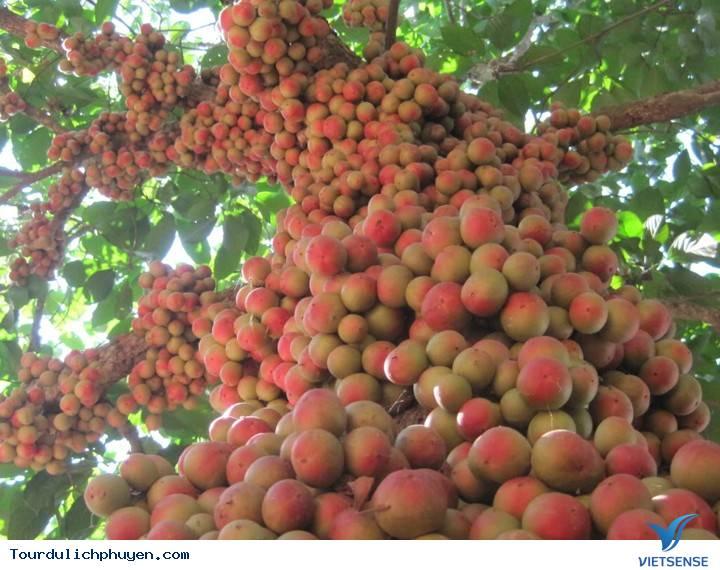 Bạn có biết cây đỏ chín ở trên Cao Nguyên Vân Hòa, Phú Yên là cây gì không - Ảnh 2